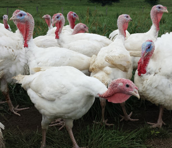 Why Choose a Pasture-Raised Turkey?